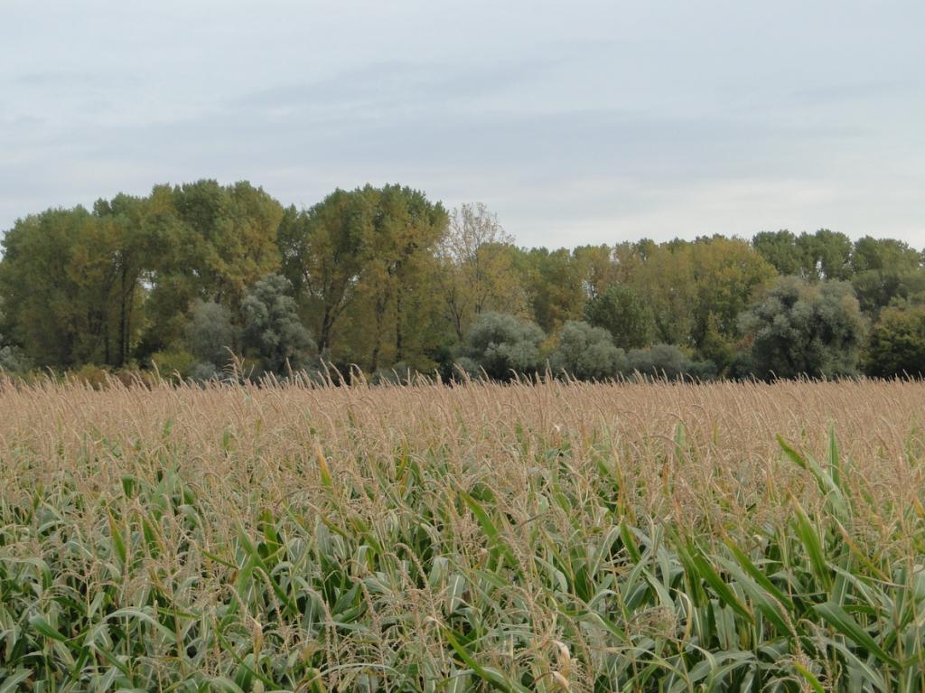 Der Mais kennt keine Gnade, im Hintergrund: Auenland