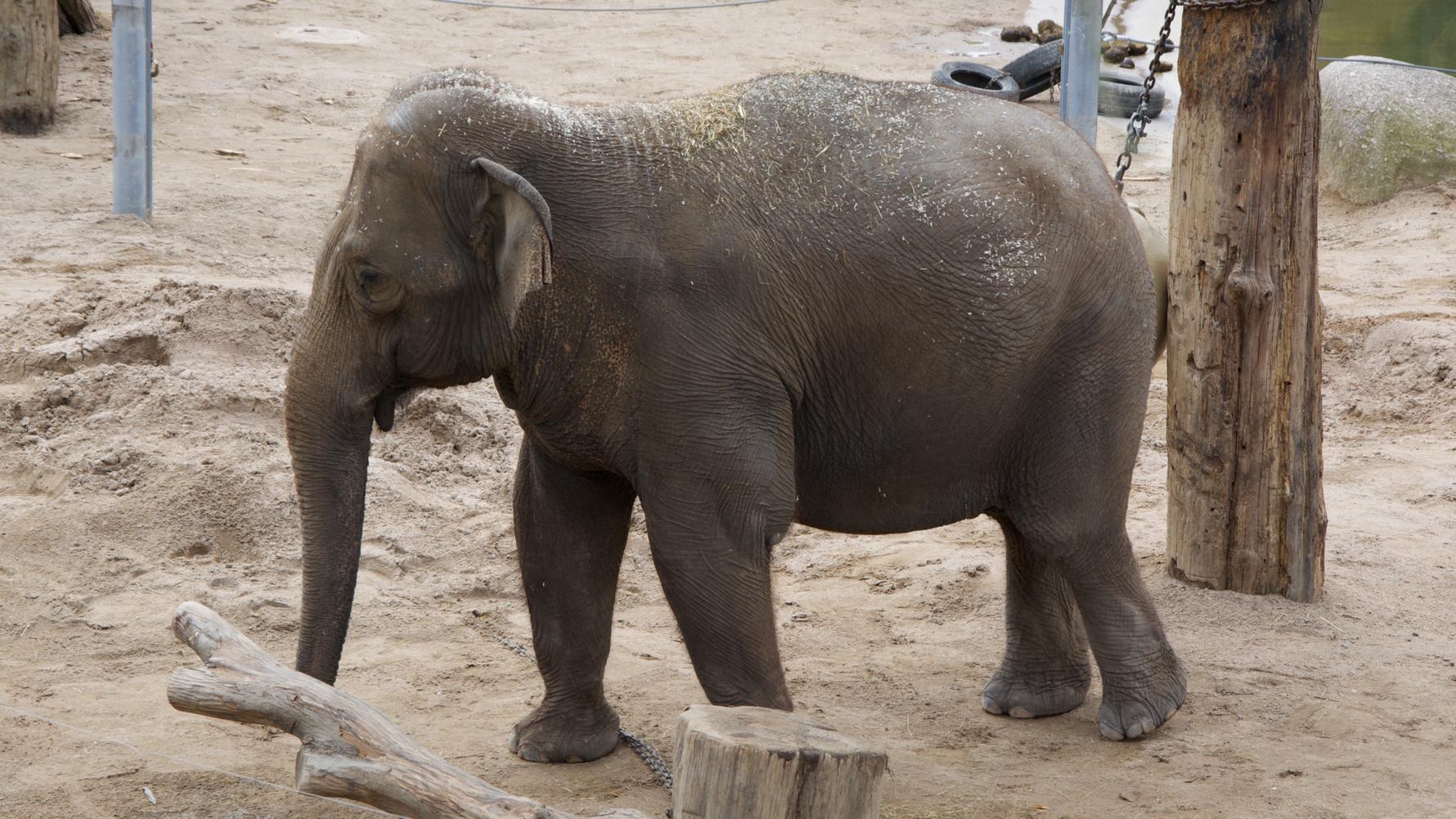 Abgerichteter Elefant bei der Arbeit im Zoologischen Garten Karlsruhe