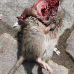 Tote Ratte am Wegesrand